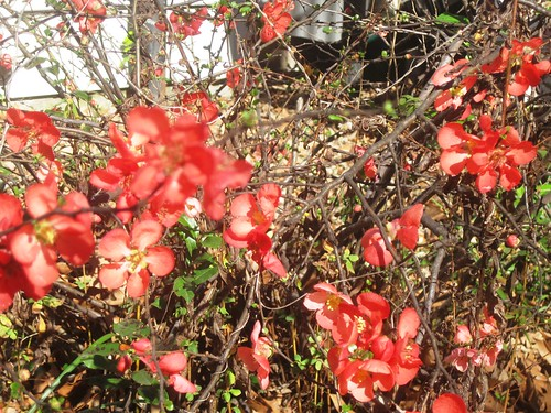 Blooming Quince by joespake
