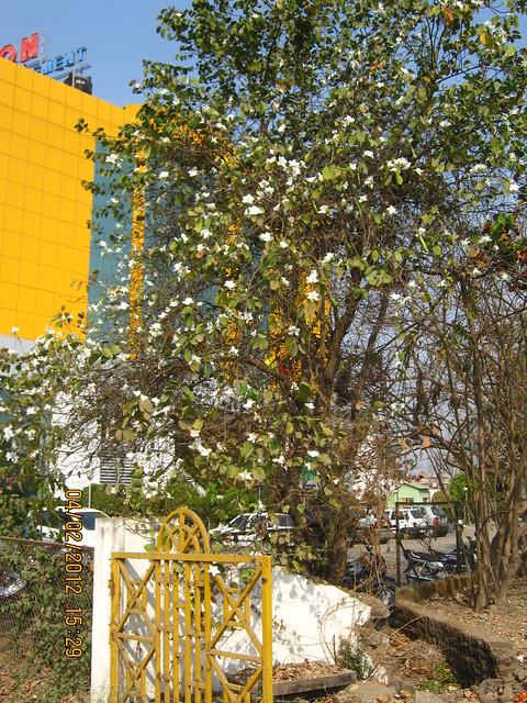 White flowers - Visit Gini Viviana, 2 BHK 2.5 BHK 3 BHK Flats & 3 BHK Duplex, behind MITCON, opposite Balewadi Sports Complex, Balewadi, Pune 411 045