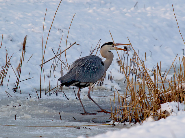Great Blue Heron - Fishing