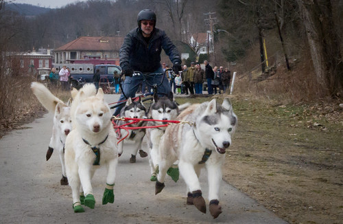 "Sled Dog ""Scoot"" in Foxburg"
