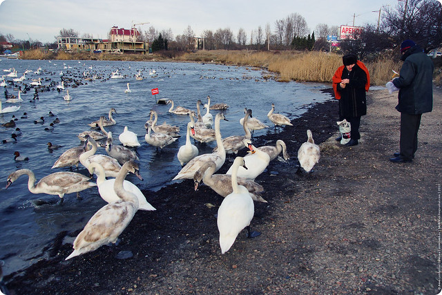 swans-08