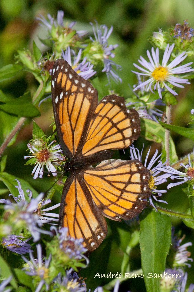 Viceroy Butterfly (Limenitis archippus)-89.jpg