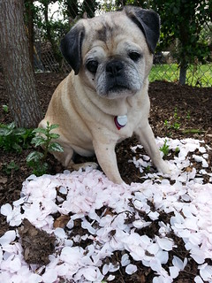 Pug with fallen cherry blossoms