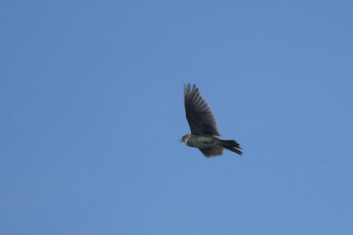 Skylark (Alauda arvensis) in flight