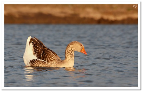 Evening Light shining on the duck by Yogendra174