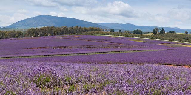 LavenderPano_small_web