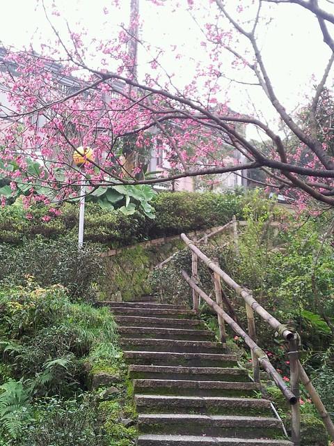 2012-02-18櫻花
