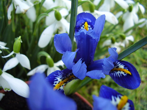 Feb 2012 317 Iris reticulata and snowdrops by monica_meeneghan