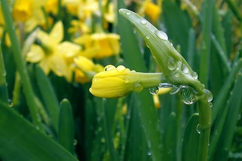 Daffodil droplet