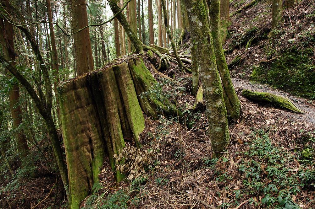觀霧巨木步道-052