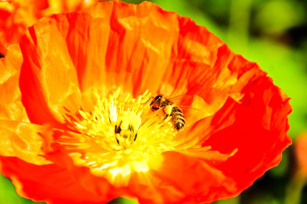 bee in poppy by hep