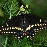 Black Swallowtail (Papilio polyxenes) butterfly