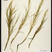 Seashore Saltgrass - Photo (c) Patrick Alexander, some rights reserved (CC BY-NC-ND)