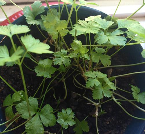 parsleyfeb