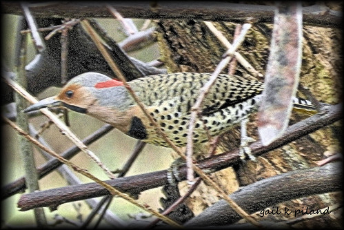 Common Flicker.............Explore