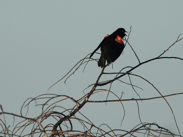 Red-winged Blackbird 20120218