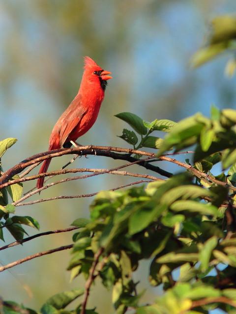 Northern Cardinal 20120218