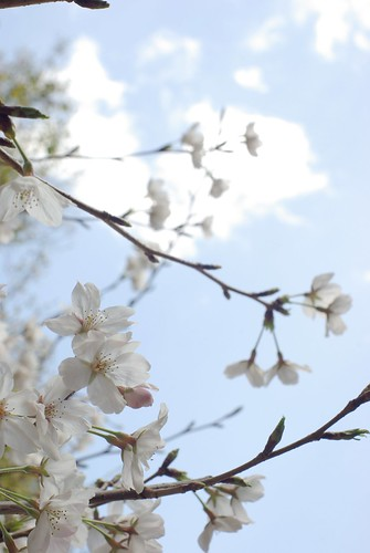 Cherry blossoms & sky