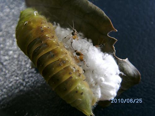 圖二:陸陸續續羽化出來的繭蜂。
