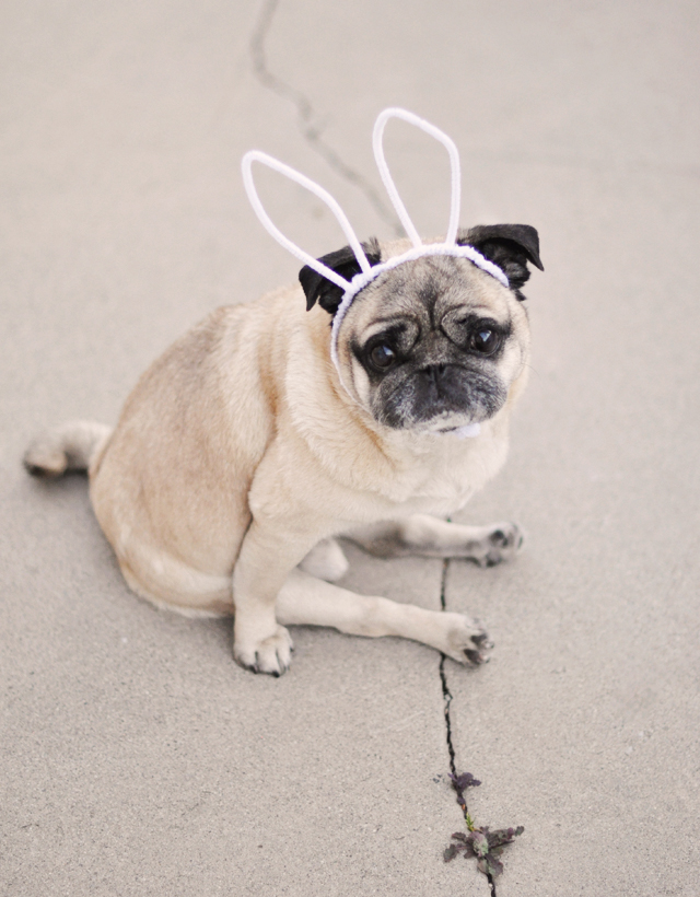 easter pug- pug with bunny ears