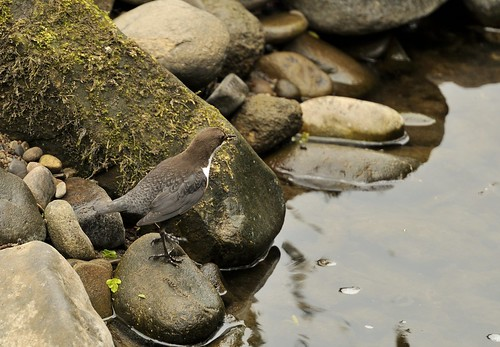 Dipper by Andy Pritchard - Barrowford