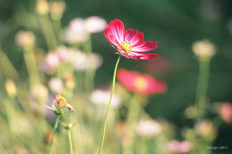 MZ-6,F70-210正片 - 拈。花。惹。草。(圖多)