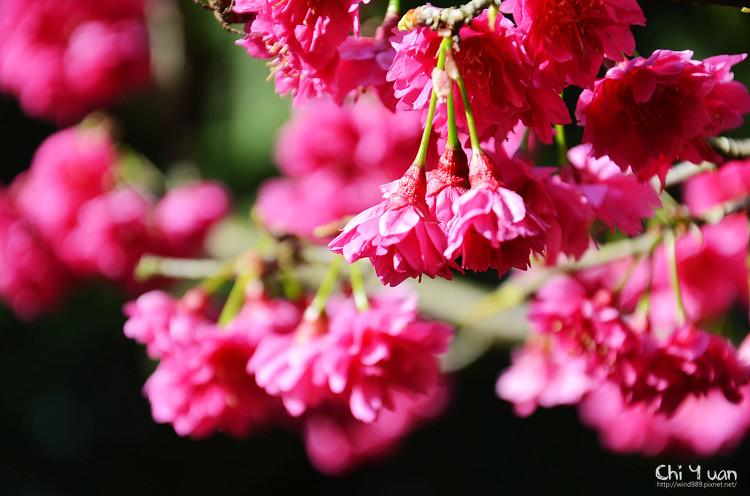 九族文化村櫻花祭-日15.jpg