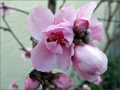 Double Delight Nectarine blossoms