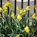Tompkins Daffodils I