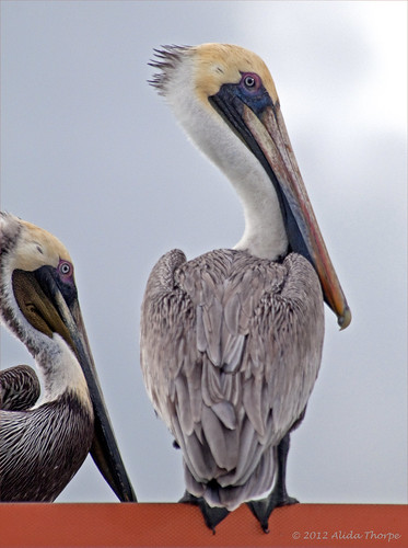 pelicans by Alida's Photos
