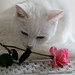 White cat and pink rose