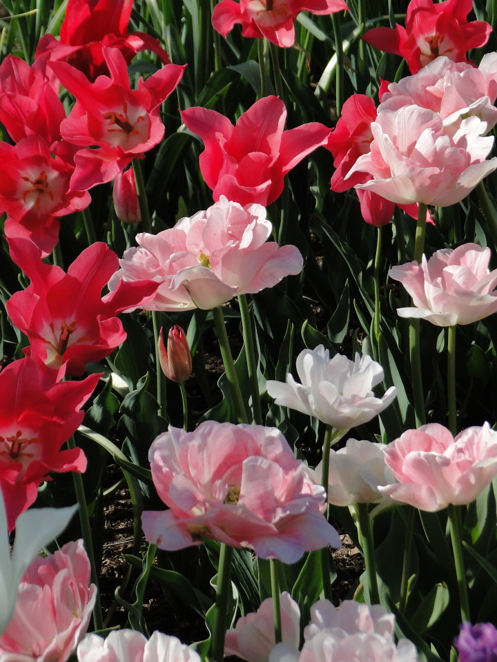 77-21apr12_3991_Botanical_garden_tulip