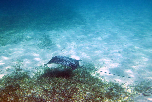 Spotted Eagle Ray, Snorkeling, Sapphire Beach, St. Thomas ...
