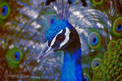 Belleza Azul AFD-P52-S10
