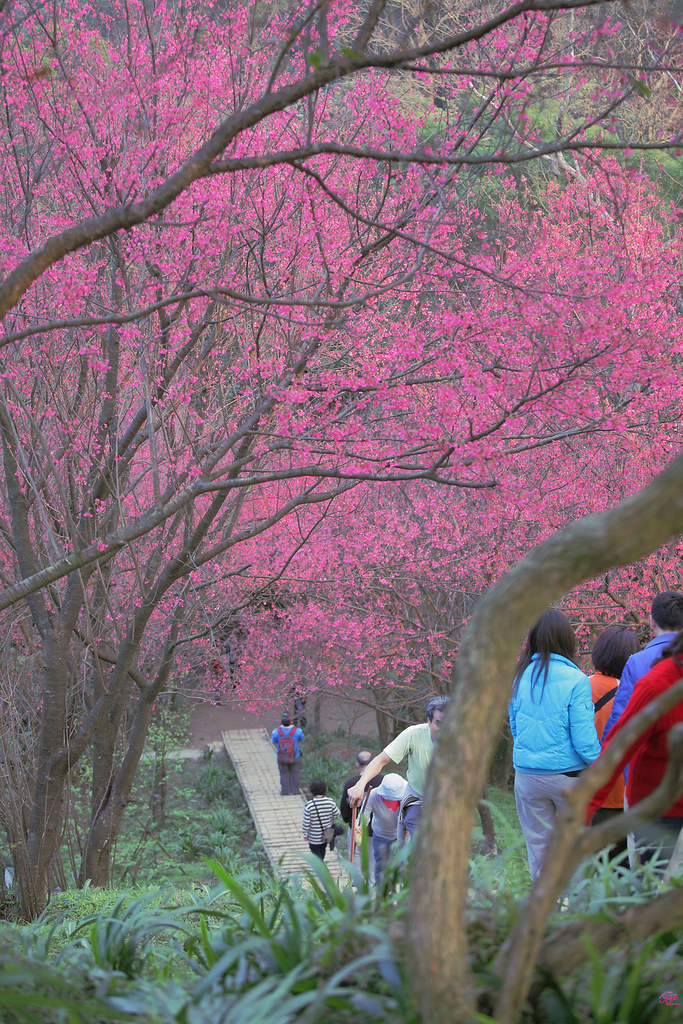 櫻花隨手拍
