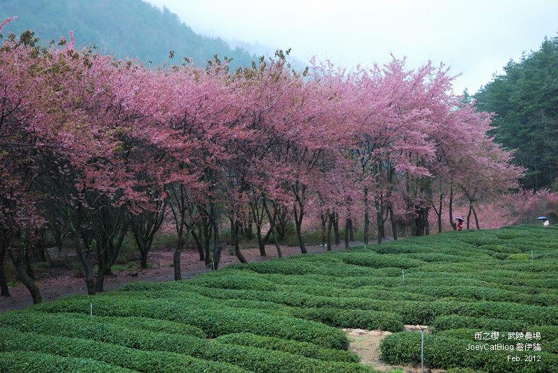 2012_0227_雨之櫻。武陵農場DSC_4331_23