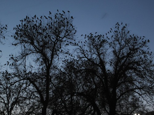 crows in trees at dusk