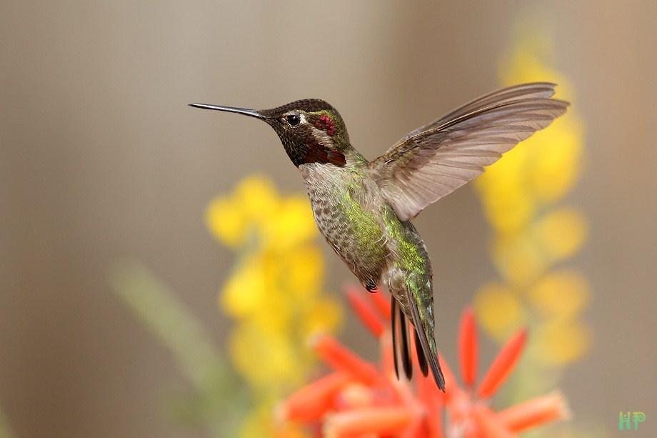 Anna's Hummingbird 031512-6
