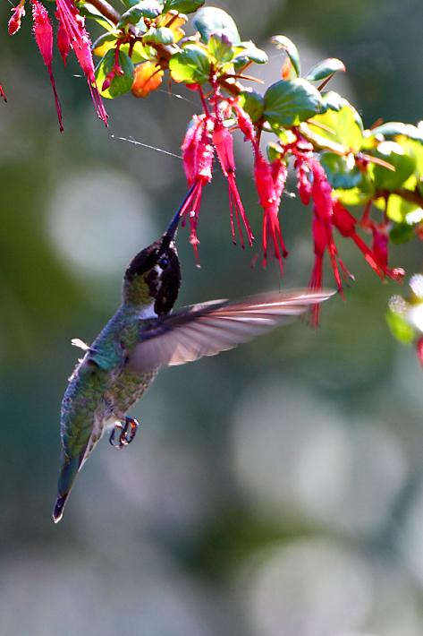 042112_01_bird_hummingbird01