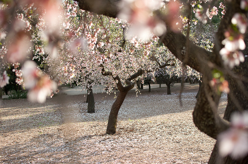 Donde ver almendros en flor en Madrid