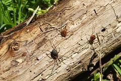 Sclerosomatid (Eumesosoma cf. roeweri) harvestman with two cosmetids (Vonones ornata)