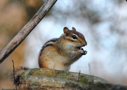 snack break - chipmunk