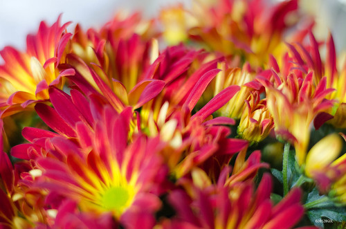 Easter Chrysanthemums