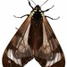 pericopid moths - Photo (c) lumaz1125, all rights reserved