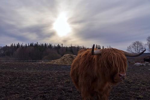 sun clouds forest finland cow helsinki april 2012 haltiala canoneos7d mygearandme adobelightroom4