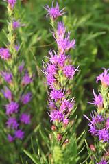 hyssopus, annual plant, flower, plant, wildflower, flora, meadow,
