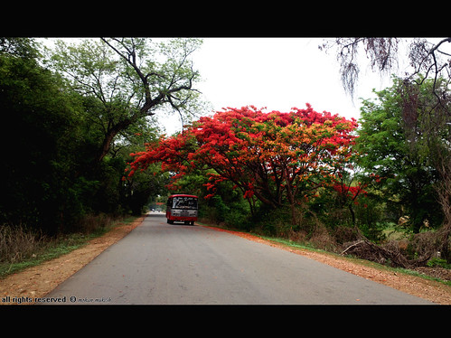 road trees flower way leaf may western greenery ghats ksrtc aldur malenadu chikamagalur kadur