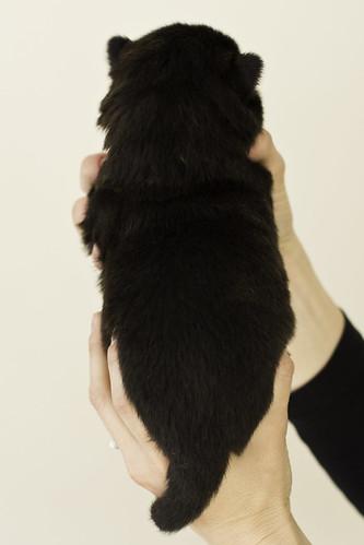 Ayui-Litter4-Day20-Puppy5-Male-b