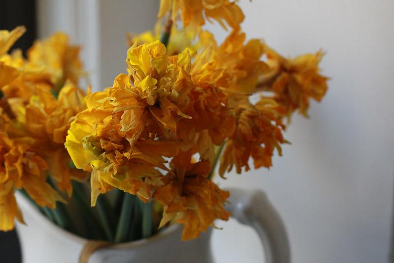 daffodils 7769