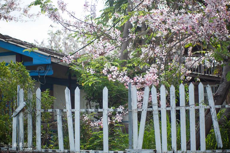 台南私藏景點--台1線花旗木 (9)